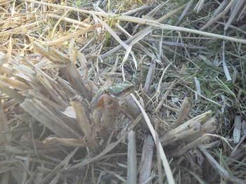稲刈りした後を飛び回るカエル.JPG