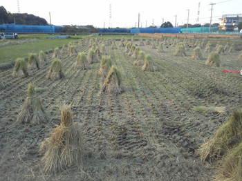 茎の乾燥.JPG