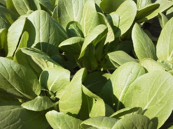 ミニ青梗菜収穫4.13おさんぽ農場